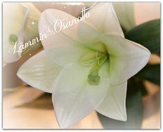 Lilja, whitie lily