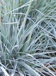 *****Image result for elymus magellanicus