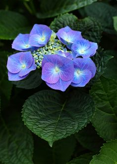 Hydrangea - by jeremyjonkman All Flowers, Exotic Flowers, Amazing Flowers, Purple Flowers, Beautiful Flowers, Hortensia Hydrangea, Hydrangea Flower, Hydrangeas, Chrysanthemums