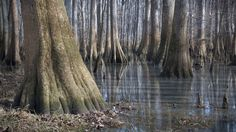 Did you know that Congaree National Preserve in South Carolina protects one of the oldest-growth forests on the East Coast? The ancient trees in this picture are bald cypress. Learn more about the amazing trees protected in the national park system!