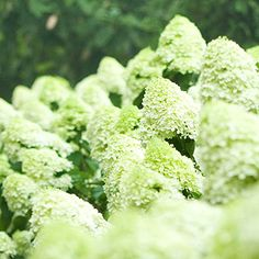 Limelight hydrangea        Flowers of Limelight hydrangea vary from pastel green in cool climates to creamy white in the South, or as summer heat progresses. In autumn the trusses may turn pink. It makes a dense, deer-resistant screen and requires no special care.        Name: Hydrangea paniculata 'Limelight'        Growing Conditions: Full sun to part shade; moist well-drained soil        Size: To 8 feet tall; 4-6 feet wide        Zones: 4-9        Read more about hydrangeas.