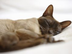 The Burmese cat's body shape is closely similar to a Siamese cat's. Next, see a mother cat and her kittens that are enjoying a meal. I Love Cats, Crazy Cats, Cute Cats, Adorable Animals, Siamese Cats, Cats And Kittens, Kitty Cats, Sphynx Cat, Summer Time