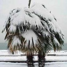 Cold Hardy Palms for those who want a tropical look in cold climates - Windmill Palm can take to *zero degrees with no worries! * sometimes even lower
