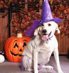 Happy Halloween.. #collarbuddies #Labrador_pictures #labrador #mylabrador…