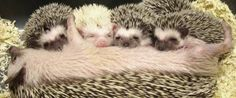 Love the baby hedgehogs!