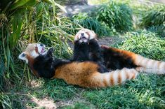 Animals And Pets, Cute Animals, Red Pandas, Rodents, Wild Things, Animal Kingdom, Animals Beautiful, Mammals, Wildlife