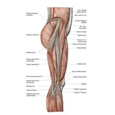Natural Remedies For Sleep Anatomy of human thigh muscles anterior view Canvas Art - Stocktrek Images x - Anatomy of human thigh muscles anterior view Canvas Art - Stocktrek Images x Gluteal Muscles, Thigh Muscles, Yoga Beginners, Natural Remedies For Allergies, Natural Health Remedies, Herbal Remedies, Natural Sleeping Pills, Health And Fitness Tips, Fitness Goals