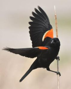 Red-winged Blackbird.  So pretty when they fly.