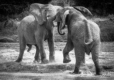 Two young elephant bulls testing their strength. #samburunationalreserve #savetheelephants #safari #elephantwatchcamp #elephant #endangered #bulls #strength #kenya #magicalkenya #africa #africanwildlife #majestic #wildphotossafaris #WildlifePlanet #animalsofinstagram #naturephotoportal #naturephotography #Nikon #nikonmea #nikontop #iamnikonsa