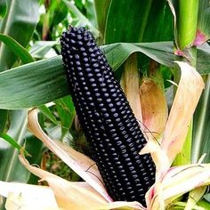 "Aztec Black is an heirloom that was cultivated 2000 years ago, long before Columbus showed up. It produces big 8"" ears on six foot plants. They start out snow white and are very good for eating fresh."