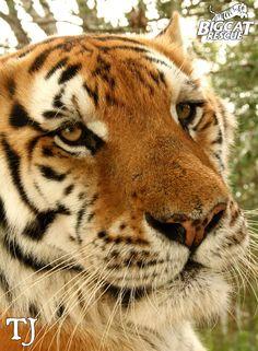 TJ the TIGER! :)
