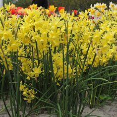 Die Tulpe 'Hawera' wurde von der Royal Horticultural Society mit dem Award of Garden Merit ausgezeichnet, sie ist also ausgezeichnet für den Garten geeignet. Pflanzzeit: Herbst - Online bestellbar bei www.fluwel.de