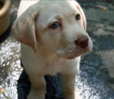 Molly the Labrador Retriever