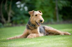 Airedale terrier, one of Westminster's Most Successful Dog Breeds Airedale Terrier, Terrier Dog Breeds, Welsh Terrier, White Terrier, Westminster, Black Cocker Spaniel, Smooth Fox Terriers, Wire Fox Terrier, Terrier Mix