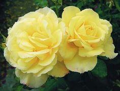 Summer Love Rosa Hybrid Tea