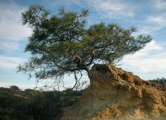 Pinus torreyana (Torrey pine)