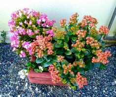 Flores da Pollyanna