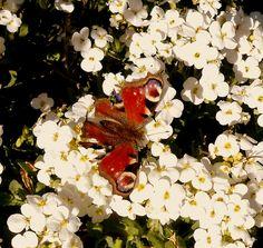 Kleiner Schmetterling im Garten/ Aurora-Mia Cantate