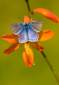 The Common Blue (Polyommatus icarus) is a small butterfly in the family Lycaenidae, widespread over much of the Palaearctic and recently introduced in eastern Canada.