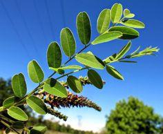FLORA NEL SALENTO e.. anche altrove: Amorpha fruticosa L. - Fabaceae - Indaco bastardo