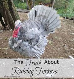 You want the truth about raising turkeys?  Well, here it is!  They are like no other poultry you will ever raise, consider yourself warned...they are characters!