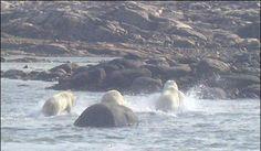 Polar bears running, photo by Michael Illuitok