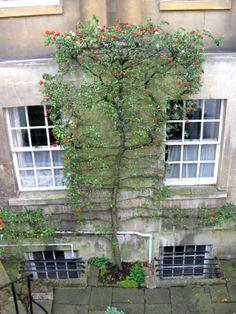 amazing espalier apple tree
