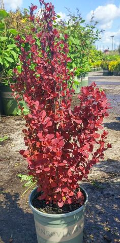 Orange Rocket Barberry - Vibrant coral-orange new foliage ages to mid-green, then turns ruby red in autumn. This award winning, compact, upright growing shrub has a vigorous growth habit and improved resistance to rust. Use to brighten the landscape in mass plantings, as a specimen plant, or in a container. Deciduous.