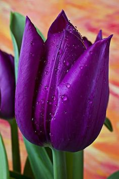 New amazing flowers pics every day, be the first to see them! Fantastic flowers will make your heart open. Purple Tulips, Purple Love, Tulips Flowers, All Things Purple, My Flower, Pretty Flowers, Planting Flowers, Deep Purple, Most Beautiful Flowers