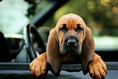 Baby bloodhound! !!