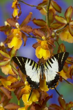 Tropical Butterfly on orchid Photographed by:  Darrell Gulin