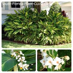 """Variegated Ginger (Alpinia zerumbet 'Variegata') works as a surround for trees or palms, a filler for a corner bed, or an anchor plant for a mixed garden. It gives color and impact to a shaded area. Its common name """"shell ginger"""" refers to the lightly fragrant flowers, which look like strands of tiny white seashells, that appear (infrequently) in warm weather. The leaves have a tangy fresh aroma. They prefer a bit of afternoon shade to keep the leaves from browning. Trim off the tallest…"""