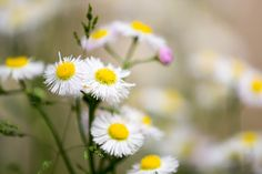 Philadelphia fleabane.   Spring is passing by.