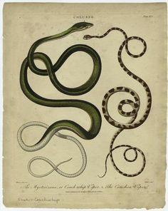 compendium-of-beasts: Coluber. (1802) NYPL