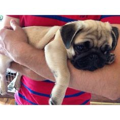 Sure, pug baby could walk around on his own, but he'd rather be carried in your arms!