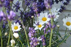 Lavender and daisies - my two favourite things!