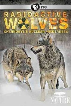 """Nature: Radioactive Wolves - Chernobyl's Nuclear Wilderness (DVD)--It has been 25 years since disaster struck the Chernobyl nuclear power plant deep in the former Soviet Union. Radioactive fallout from the accident created a """"dead zone"""" around the reactor, too contaminated to be safely inhabited by humans. If the wolves are doing well, the populations of their prey must also be doing well."""