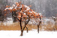 https://flic.kr/p/aZXJoD   Tree of persimmon   2011.12.18 Fukushima / Canon 60D EF24-105mm F4L IS USM