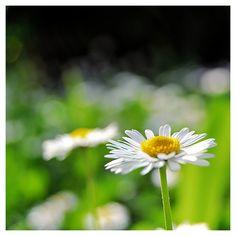 Gioco di sca...tti Red Daisy, Dandelion, Garden, Flowers, Plants, Garten, Dandelions, Florals, Gardens