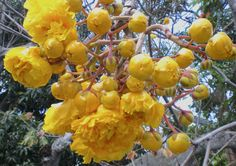 Double flowers of the Buttercup Tree (Cochlospermum vitifolium) by Joel Abroad on Flickr.