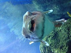 Puffer fish, Denver aquarium