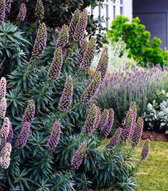 echiums, a stunning plant when it is in bloom. One of the best plants for bees, as the huge cones of purple flowers contain lot of nectar!
