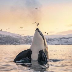 Tommy Simonsen Orca showing off in Tromsø  By @tommysimonsenphotography