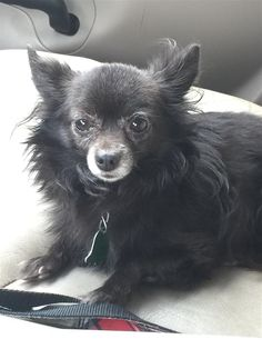 Lost Dog - Chihuahua Long Haired - Tucker, GA, United States 30084
