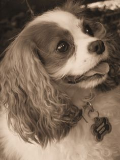 King Charles Cavalier ~The sweetest dog ever!