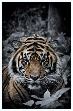 Tiger (selective colour)