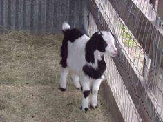 Fainting Goat Small Animals, Farm Animals, Animals And Pets, Nigerian Pygmy Goats, Fainting Goat, Skunks, Farm Fun, Future Farms, Hobby Farms