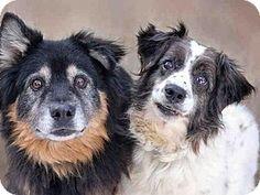 Denver, CO - Australian Shepherd Mix. Meet ROXY, a dog for adoption. http://www.adoptapet.com/pet/14737196-denver-colorado-australian-shepherd-mix
