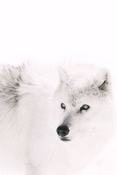 le loup blanc ⚪ the white woolf animal tiere neige snow hiver winter weiß wolf Beautiful Wolves, Animals Beautiful, Majestic Animals, Beautiful Beautiful, Wolf Heart, Jon Snow, Snk Annie, Carla Tsukinami, Munier