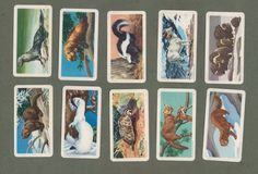 TRADE/ cigarette cards set Animals of North America,Raccon,bears,moose,bison,  | eBay